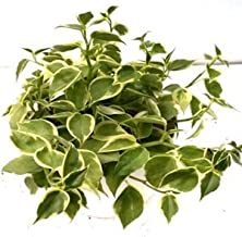 CAPPL Peperomia ScandensVargata Green Yellow Color Plant (Pot Included) with Fertilizer & Plate Free