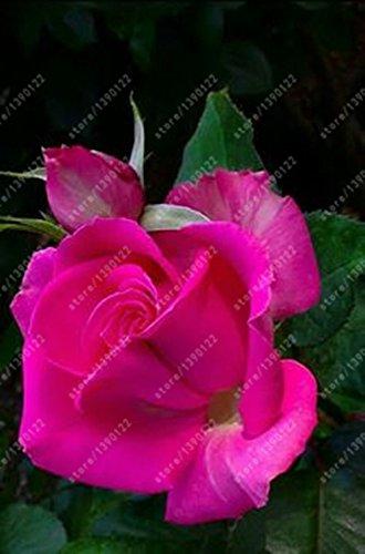 100pcs / sac rose graines Double Delight Hybrid Tea Rose graines de fleurs bonsaï belle pétales de roses vivaces pour plantes potagères grand 8