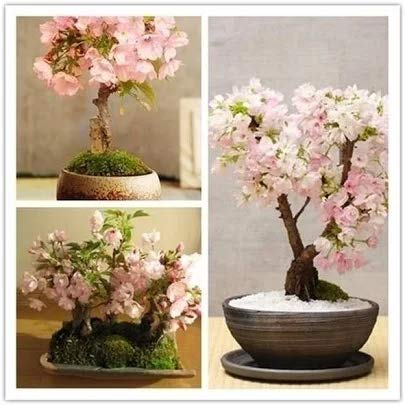 30 pcs New Japanese Sakura Cherry Blossom Flower Seeds Bonsai Rare Tree Plants
