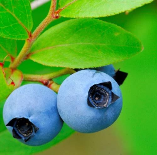 Lowbush Blueberry, Vaccinium angustifolium, 100 ASF2-Seeds (Edible, Showy, Fall Color)