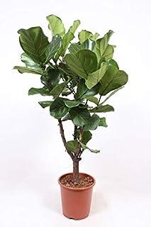 Planta de interior de Botanicly – Ficus Lyrata – Altura: 120 cm