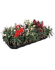 Bandeja de 10 Claveles Naturales en Maceta 10-15cm Plantas de Clavel de Colores