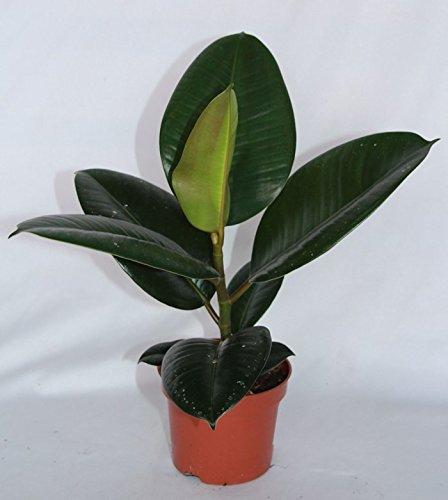 Ficus Robusta (30 cm (1 vara)) - Planta viva de interior