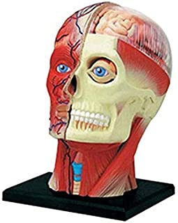 Model Educational Model Of Human Head Anatomy, Anatomy Drawing Anatomical Model Of Human Head Muscles, Teaching Medical De...