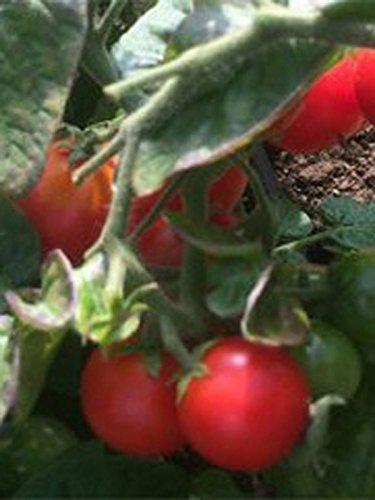 Griechische Balkontomate (Solanum lycopersicum) 10 Samen Buschtomate