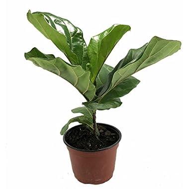 Hirt's Fiddleleaf Fig Tree - Ficus - Great Indoor Tree - Easy - 6  Pot