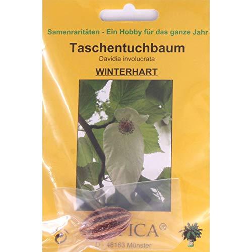 Bonsai - 1 Samen v. Davidia involucrata, Taschentuchbaum, 90088