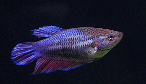Female Betta Splendens Siamese Fish - Assorted Colors | Live Tropical Aquarium Fish