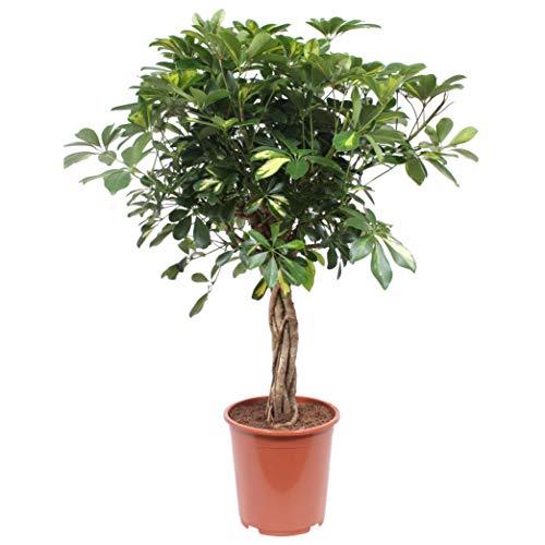Hellogreen Zimmerpflanze - Strahlenaralie Schefflera Arboricola - Höhe: 80 cm - Luftreinigend - Easy to Care
