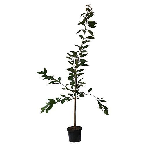 buschbaum kirsche