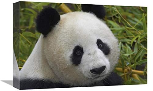 Global Gallery Retrato de Panda Gigante, Nativo de China-Lienzo, 45,7 x 30,5...