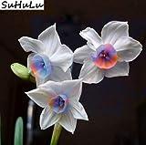 AGROBITS 120 Pcs arc-en-Fleur de narcisse mixte Bonsai (non jonquille Bulbes) Flore Jonquille pétales de double pot jardin Diy Plantation: 14