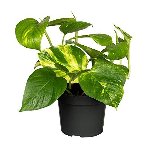 Florado Efeutute, Epipremnum, echte Zimmerpflanze, Pflanze, Pflanzen Deko, Topfgröße 12cm