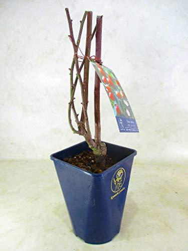 ロサ カニーナ ドッグローズ ローズヒップ 収穫用 薔薇 苗木 4号青プラ鉢 全高:約40�p