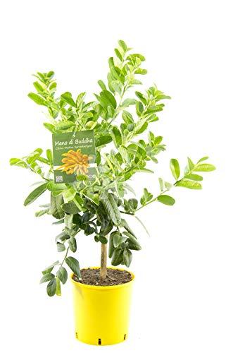 Buddhas Hand Pflanze 80 cm - Citrus medica sarcodactylis - Zitronenbaum