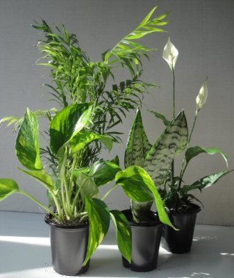 Best air purifying plants -Money Plant (Epipremnum aureum)