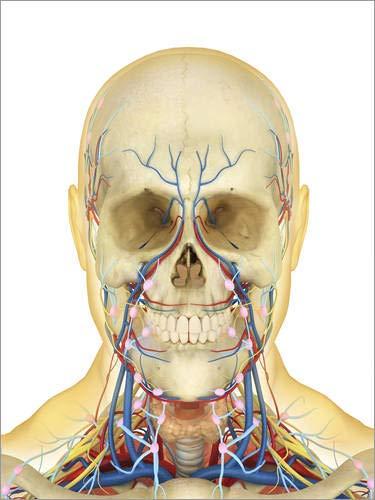 Leinwandbild 50 x 70 cm: Blutkreislauf, Nerven- und Lymph-System des menschlichen Kopfes von Stocktrek Images - fertiges Wandbild, Bild auf Keilrahmen, Fertigbild auf echter Leinwand, Leinwanddruck
