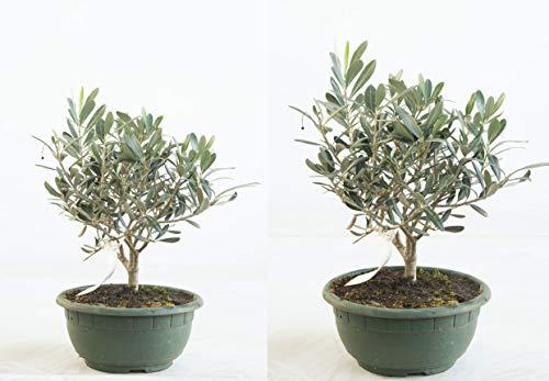 Olea europea Olive T20 cm Schale Olivenbaum 30-35 cm Bonsai-Rohware