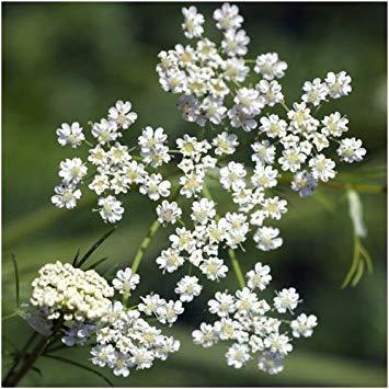 PlenTree 200 semillas - alcaravea de la hierba Seeds (Carum carvi)