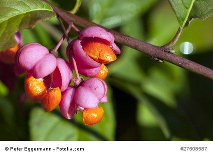 Spindelstrauch Euonymus europeus Pfaffenhütchen 10 Samen frosthart