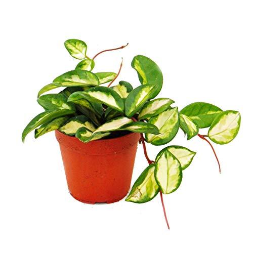 Zimmerpflanze hängend - Hoya carnosa tricolor - Porzellanblume - Wachsblume 12cm