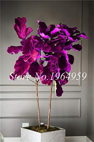 RETS Bonsai 50 PC chinesische Ficus benjamina Bonsai Pflanzen Blumen Topf Bonsai Variety komplette Hausgarten-Anlagen Easy Grow: 5