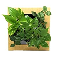 ミドリエデザイン 土を使わない 壁掛け 観葉植物 FRAME17Z4 シェフレラ緑model (木目調ナチュラル)