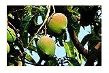 Mango Mangifera indica Pflanze 15-20cm Mangobaum Obstbaum Obstpflanze Rarität