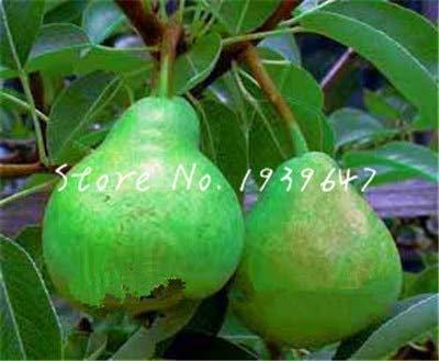SANHOC 20 PC Goldene Birne asiatische Birne Obst Bonsai Topf Birnbaum angemessene Bestand an Nord- und Süd-Pflanzen Hausgarten Balkon Früchte: 6