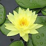 Live Water Lilies Rhizomes (Tubers) | Pre-Grown...
