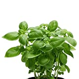 Basil Sweet Italian | Flavorful & Aromatic Pre-Potted Herb Plants - 3 Live Potted Plants | Ships from Easy to Grow TM