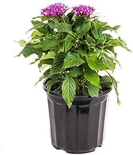 """AMERICAN PLANT EXCHANGE Violet Penta Live Plant, 6"""" Pot, Purple Blooms"""