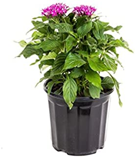 AMERICAN PLANT EXCHANGE Violet Penta Live Plant, 6