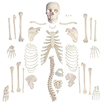 """Houseables Disarticulated Human Skeleton Full Unassembled Anatomical Model Life Sized 62"""" Height Plastic w/ Poster Skull Bones Articulated Hand & Foot Study of Skeletal System Educational"""