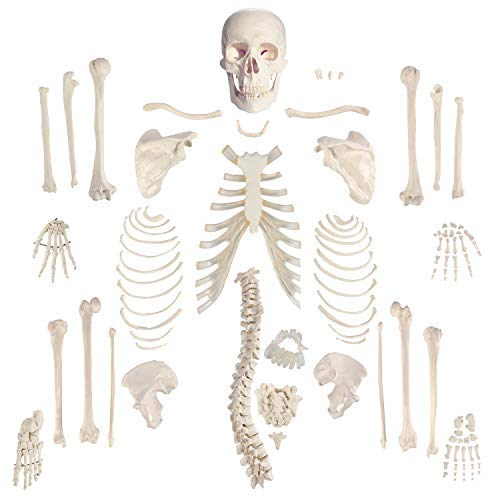 "Houseables Disarticulated Human Skeleton, Full Unassembled Anatomical Model, Life Sized, 62"" Height, Plastic, w/ Poster, Skull, Bones, Articulated Hand & Foot, Study of Skeletal System, Educational"