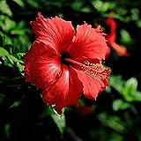 Benoon Semillas 100Pcs / Bolsa Semillas De Hibisco Plantas En Flor Raras Semillas De Flores De Paisajismo Gigantes Para Jardín Semillas de hibisco
