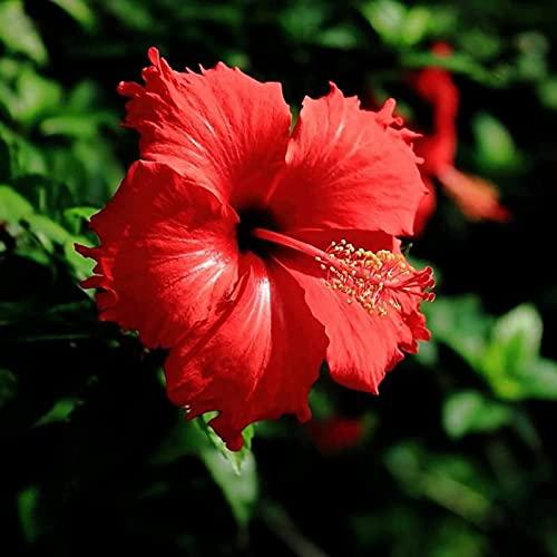 Benoon Samen 100 Stück/Beutel Hibiskus-Samen Seltene Blühende Pflanzen Riesige Landschaftsgestaltung Blumensamen Für Den Garten Hibiskussamen