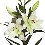 White Lily LA Hybrid Richmond   Large Fragrant White Blooms - Exceptional Cut Flowers - 3 Large Lily Bulbs for Planting - 14/16 cm Bulbs   Ships from Easy to Grow TM