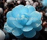 200 Pz Echeveria Purpusorum Bonsai Fresca Pianta grassa casa Rock Garden Splendida Rotonda Leaf Rare Succulente pianta: 11