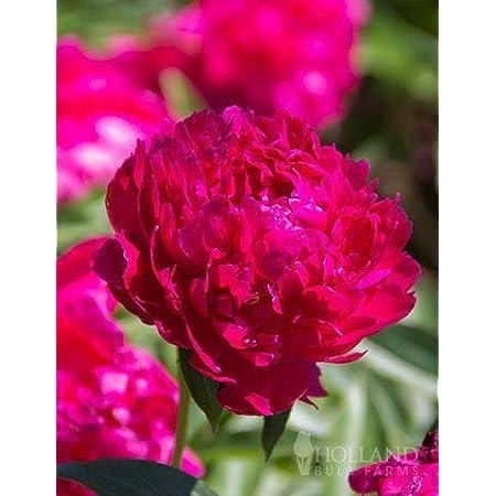 Karl Rosenfield Peony - Fresh Perennializing Bare Root Peonies