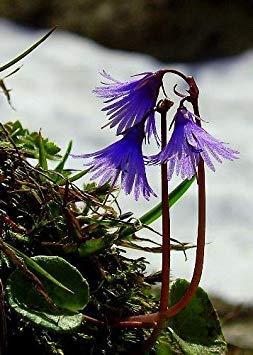GEOPONICS A - Kiefer owbell (Soldanella pina) - 50 Samen - Kiefern/Steingärten
