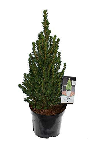 Weiß-Fichte, Zuckerhutfichte, Zwergfichte - Picea glauca Perfecta - Gesamthöhe 60-80 cm im 3 Ltr. Topf
