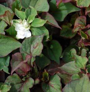 Eidechsenschwanz Plena - Houttuynia cordata