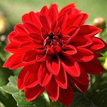 HONIC Samen-Paket: Dahlia Singer (2 Knollen), Abendessen Teller Dahlienknollen, Große Schnitte, Blüten Sommer Fallen