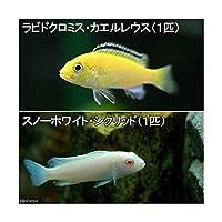 (熱帯魚)ラビドクロミス・カエルレウス(1匹) + スノーホワイト・シクリッド(1匹) 北海道航空便要保温