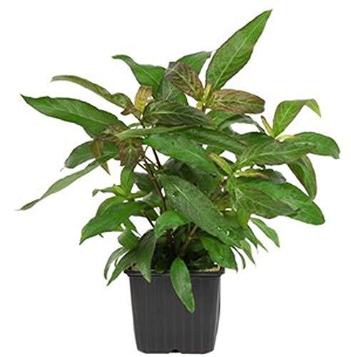 Tropica Mutterpflanze Aquariumpflanze Hygrophila 'Siamensis' XL Nr.053A XL Wasserpflanzen Aquarium Aquariumpflanzen