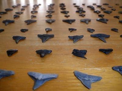 100 Fossil Shark Teeth