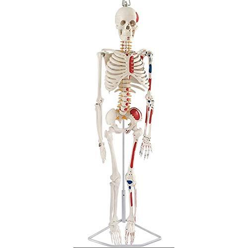 CLHCilihu Muscular mit hängenden Halterung bewegliche Gelenke 85cm medizinischen Standard Bildung Lehrmittel Lab Wissenschaft Menschliches Skelett Modell Anatomische gemalte Ausrüstung