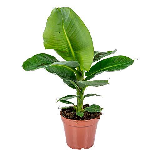 Bananenpflanze - Musa 'Tropicana' pro...