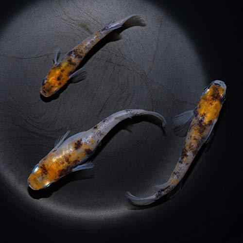 雲州三色 めだか メダカ 稚魚 10匹セット 10mm~15mm